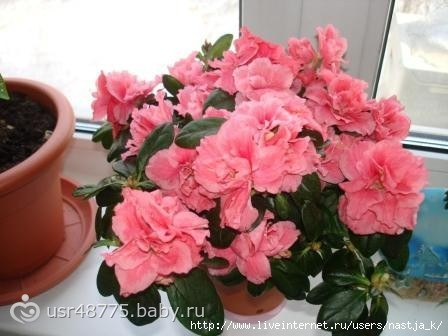 Цветок азалия и как за ним ухаживать