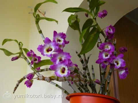 Орхидея уход в домашних условиях нобиле