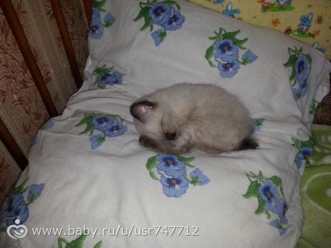 Девочки, Москва! Кому нужен котенок меконгского бобтейла!